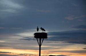 Störche am Nest