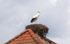 Storch in Rühstädt (Foto Friederike Schmidhuber)