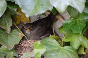 Amselmutter auf dem Nest