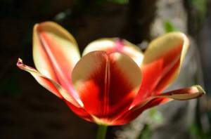 Tulpe 4