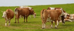 Kühe auf der Weide vor Peretshofen